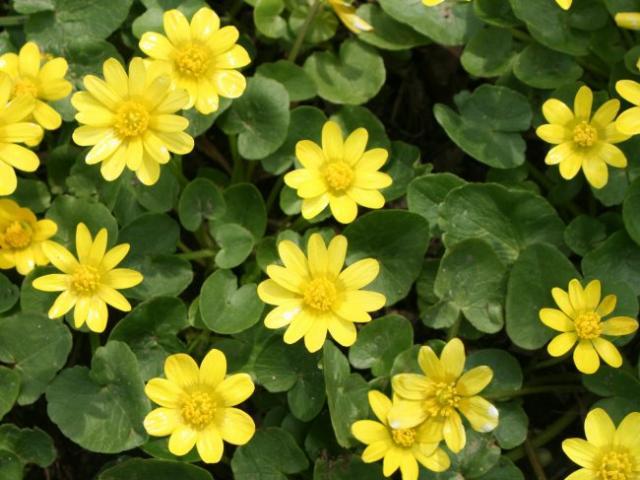 Первые желтые весенние цветы